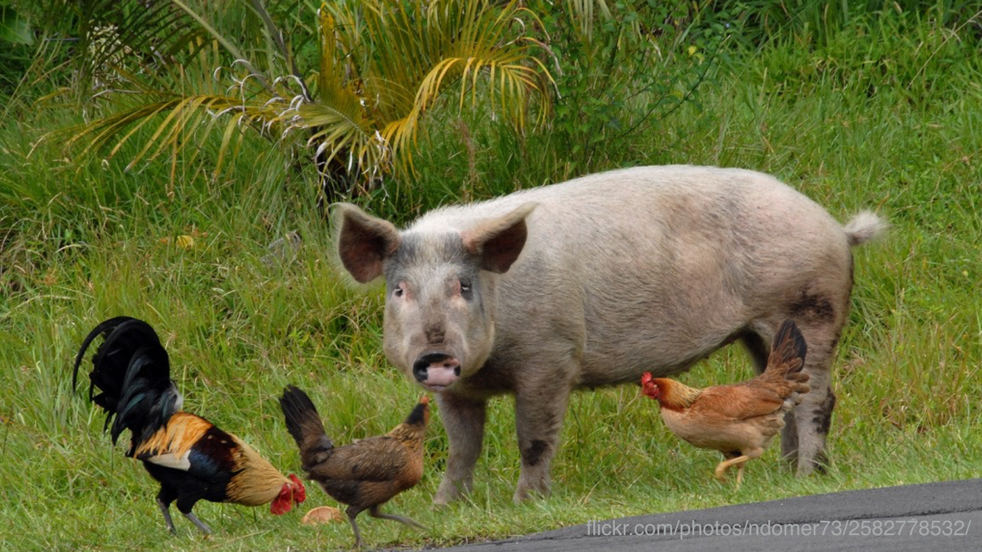 A photo of pigs and chickens